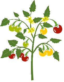 plant_tomates